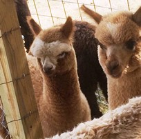 Alpacas in Crawford County.