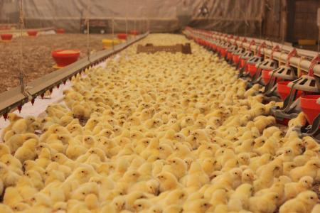 Baby chicks in a poultry house