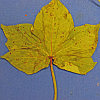 Stemphylium Leaf Spot in cotton | Disease Management | Farm & Ranch | Arkansas Extension