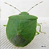 Green Stinkbug Adult | Insect Management in Cotton | Farm & Ranch | Arkansas Extension