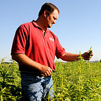 Pigweed in cotton | Weed Management | Farm & Ranch | Arkansas Extension