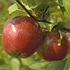Apples & Pears | Fruits & Nuts | Commercial Horticulture | Arkansas Extension