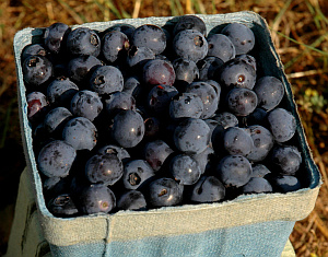 Blueberries | Fruits & Nuts | Commercial Horticulture | Arkansas Extension