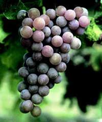 'Reliance' | University of Arkansas Patented Grapes