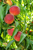 Peaches & Nectarines | Fruits & Nuts | Commercial Horticulture | Arkansas Extension