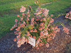 Picture of Abelia x 'Canyon Creek' flower and form. Link to larger picture. Select back button to return.