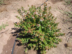 Picture of Abelia x 'Rose Creek' flower and form. Link to larger picture. Select back button to return.