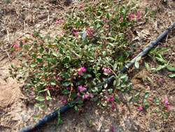 Picture of Lagerstroemia x 'Rosey Carpet'