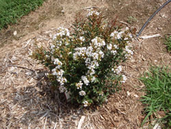 Picture of Lagerstroemia x Snow Dazzle™ flower and form. Link to larger picture. Select back button to return.