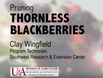 pruning thornless blackberries video by Clay Wingfield Program Technicican Southwest research center