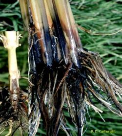 Roots of a rice plant that are brown and black in color.