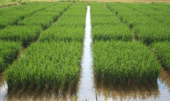 Rice Research Plots | Arkansas Extension