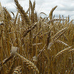 Wheat Production | Row Crops | Farm & Ranch | Arkansas Extension