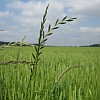 Ryegrass in wheat | Weed Management | Farm & Ranch | Arkansas Extension