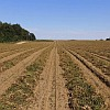 Peanut Field | Row Crops | Farm & Ranch | Arkansas Extension