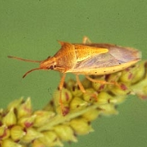 Photo of a Rice Stinkbug crawling on a plant