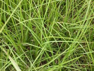 Picture of Bahiagrass Leaves