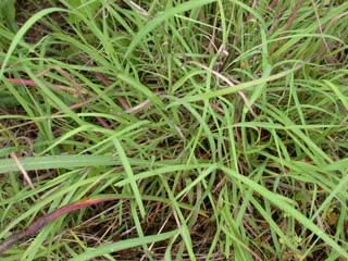 Picture of Caucasian Bluestem Leaves