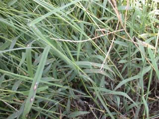 Picture of Crabgrass foilage