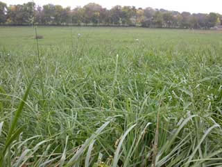 Picture of a Fescue Fall Growth