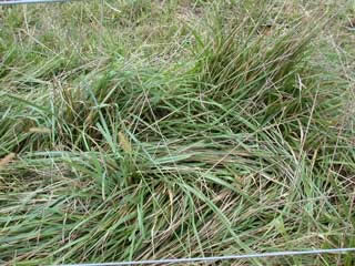 Picture of a mature Fescue