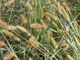 Picture of a Foxtail Heads