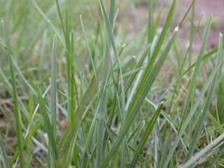 Picture of Kentucky Bluegrass Leaves