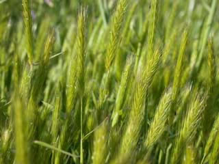 Picture of Little Barley Heads