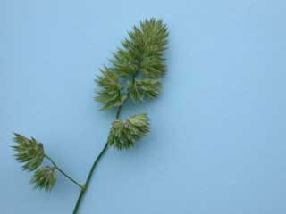 Picture of an Orchardgrass Head