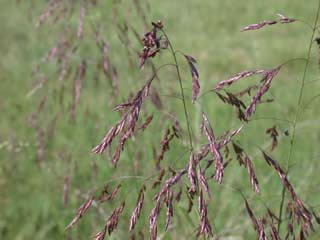 Picture of Purpletop Seed Heads