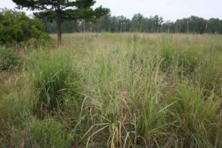 Picture of Switchgrass Plant