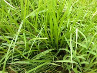 Picture of Yellow Nutsedge Plants