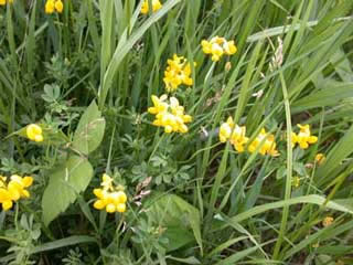 Picture of a Birdsfoot Trefoil Plant