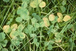 Picture of Boron Deficiency Clover