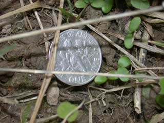 Picture of Clover Seedling Red compared to the size of a dime.