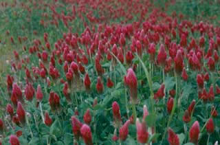 Picture of Crimson Clover