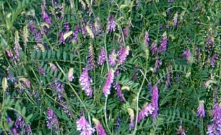 Picture of Hairy Vetch Blooms