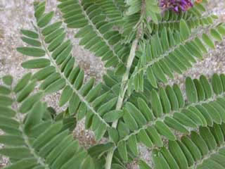 Picture of a Leadplant Leaf