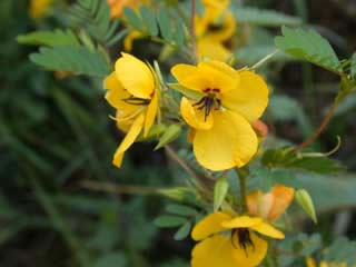 Picture of a Partridge Pea Bloom