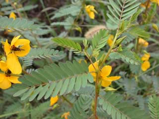 Picture of Partridge Pea Leaves