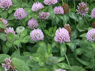 Picture of Red Clover Blooms