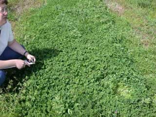 Picture of a Subterranean Clover Plot