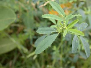 Picture of a Sweet Clover Leaf
