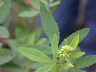 Picture of Sweet Clover Leaves