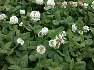 Picture of White Clover