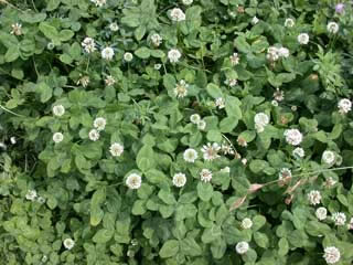 Picture of a White Clover Stand
