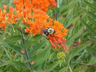 Picture of Butterfly Milkweed
