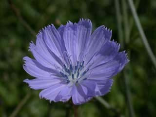 Picture of a Chickory Bloom