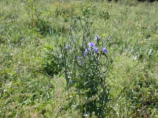 Picture of a Chickory Plant