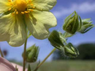 Picture of Cinquefoil Buds